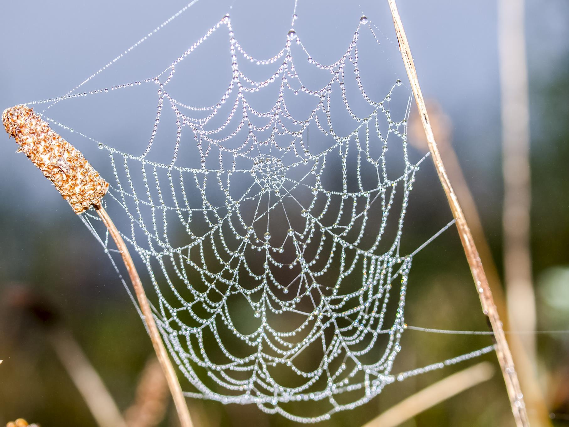 Ein Spinnennetz mit Morgentau.