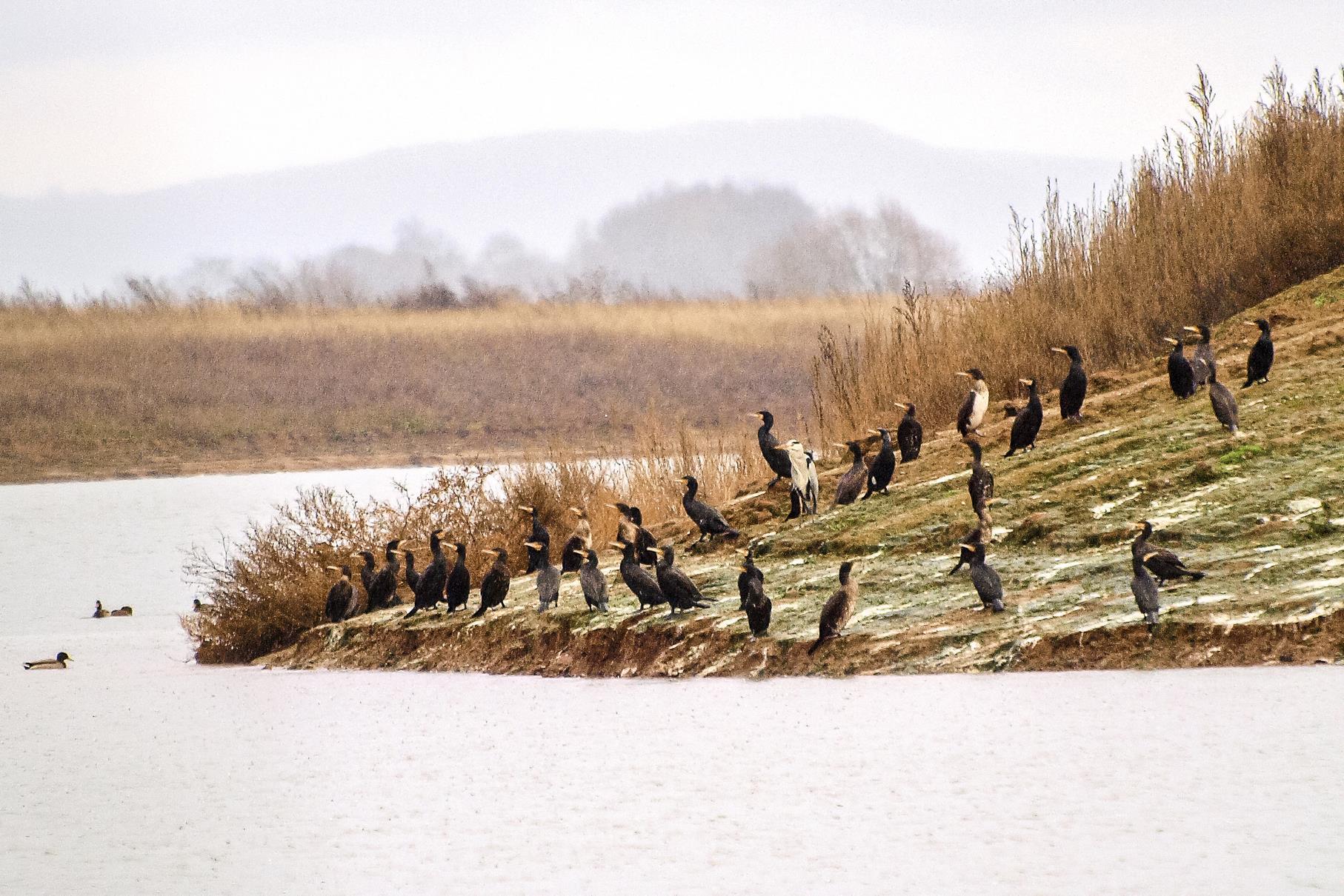 Kormorane und ein Graureiher sitzen am Ufer.