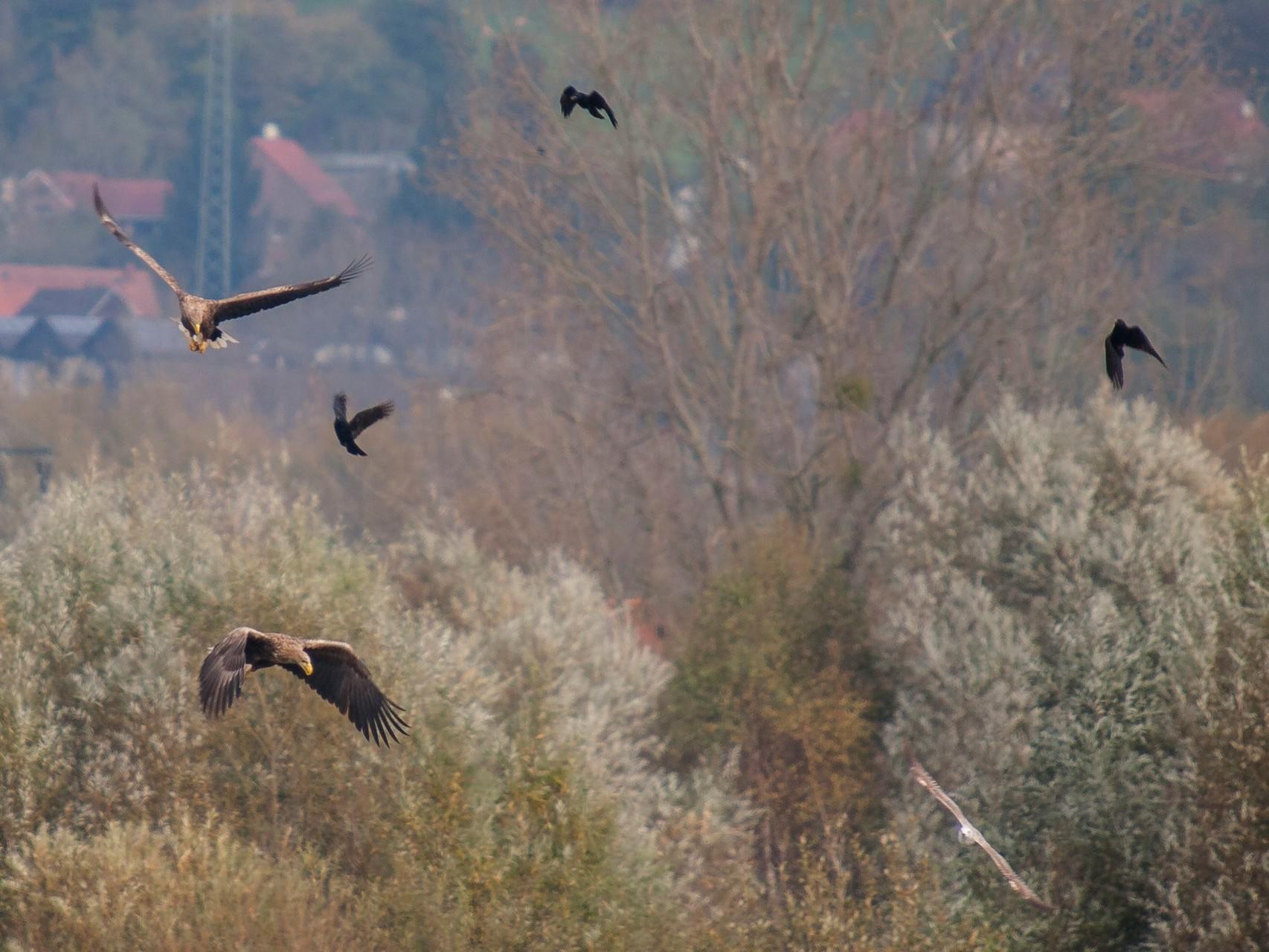 Bei der Jagd werden die Seeadler oft von Krähen verfolgt. - Foto: Kathy Büscher