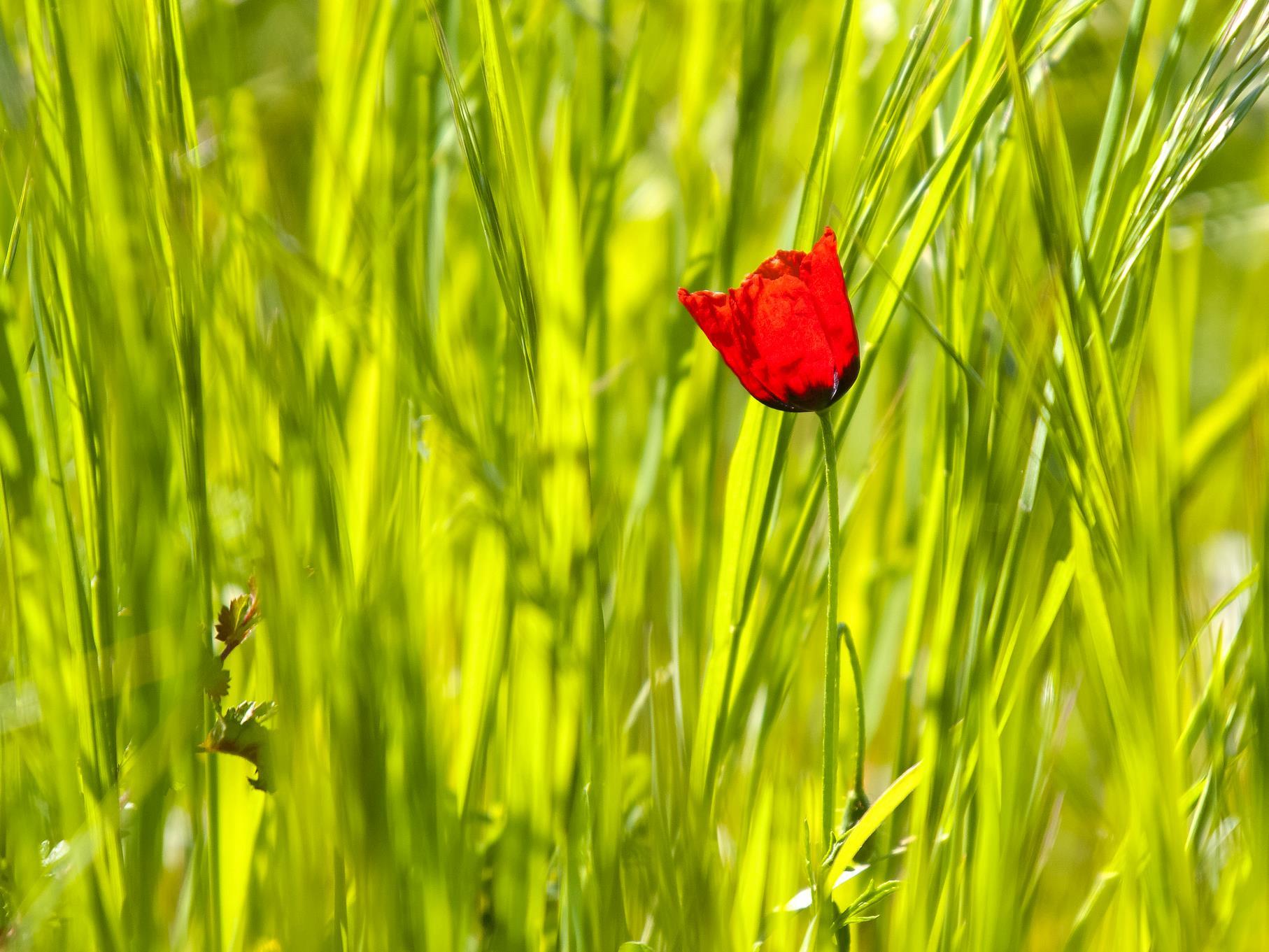 Eine Mohnblüte zwischen Gräsern auf einem Feld.