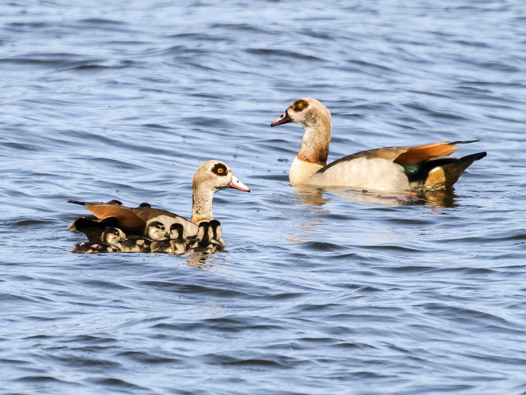 Eine Nilgans-Familie schwimmt auf dem Wasser.