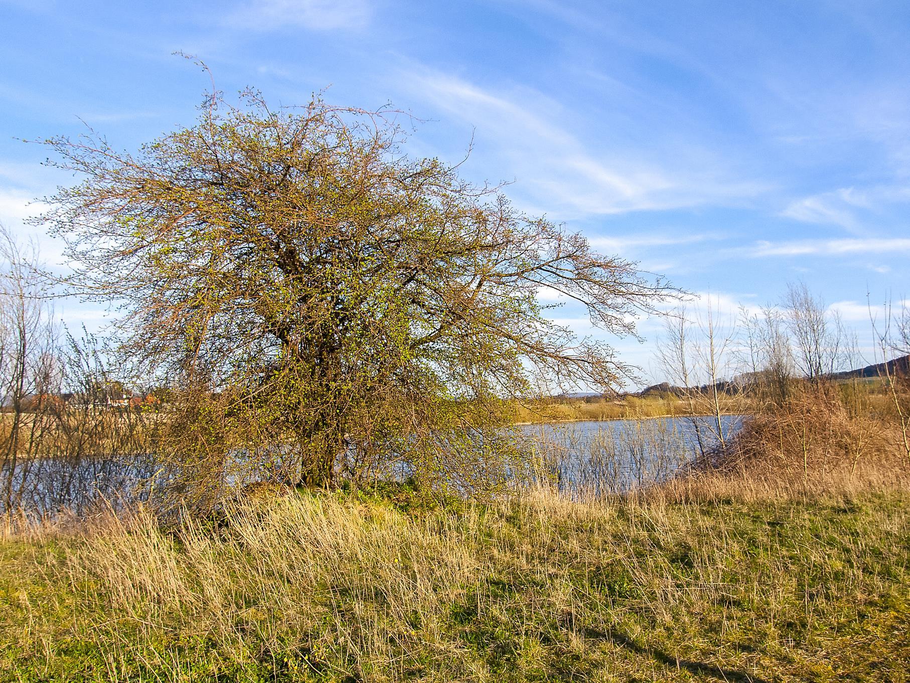 Ein Baum am Rundweg mit dem östlichen Teich im Hintergrund.