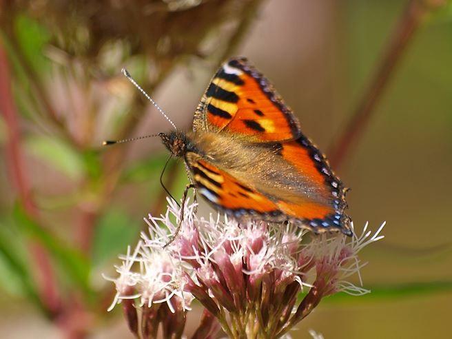 Im Sommer gibt es viele Schmetterlinge zu beobachten. - Foto: Kathy Büscher