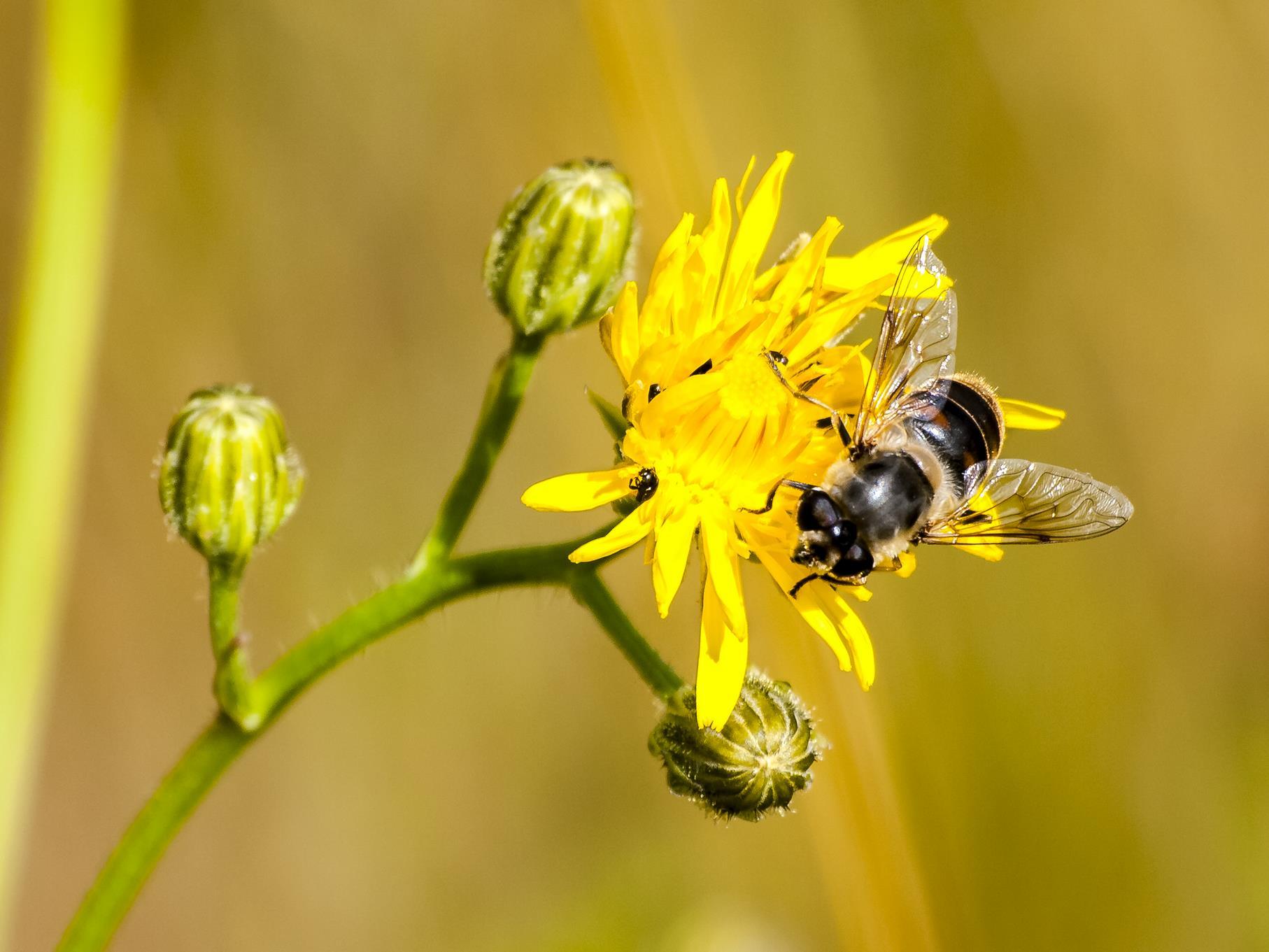 Eine Wildbiene sitzt auf einer Blüte.
