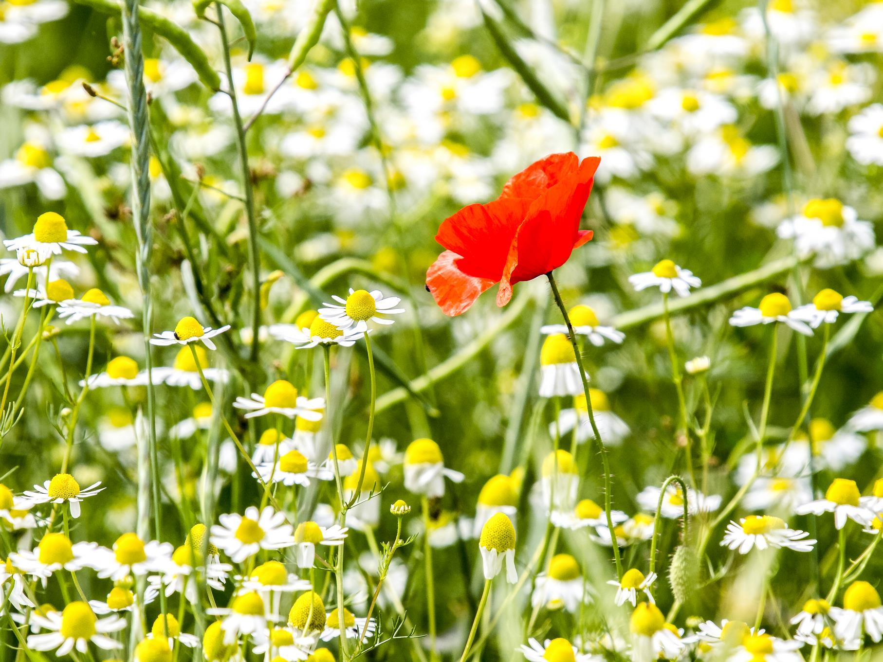 Eine blühende Mohnblume zwischen Kamille-Pflanzen.