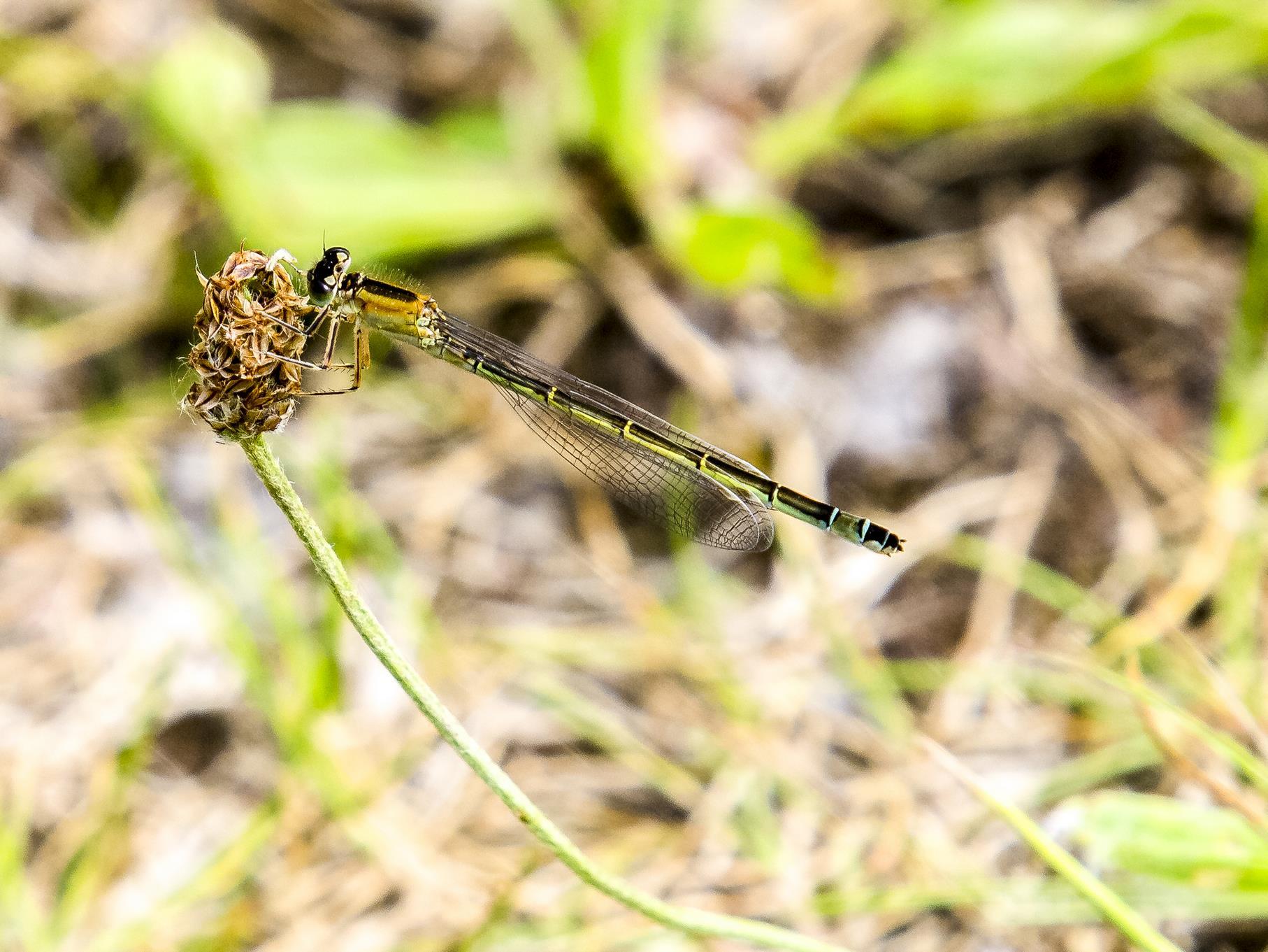 Auch verschiedene Libellen-Arten gibt es an den Kiesteichen.