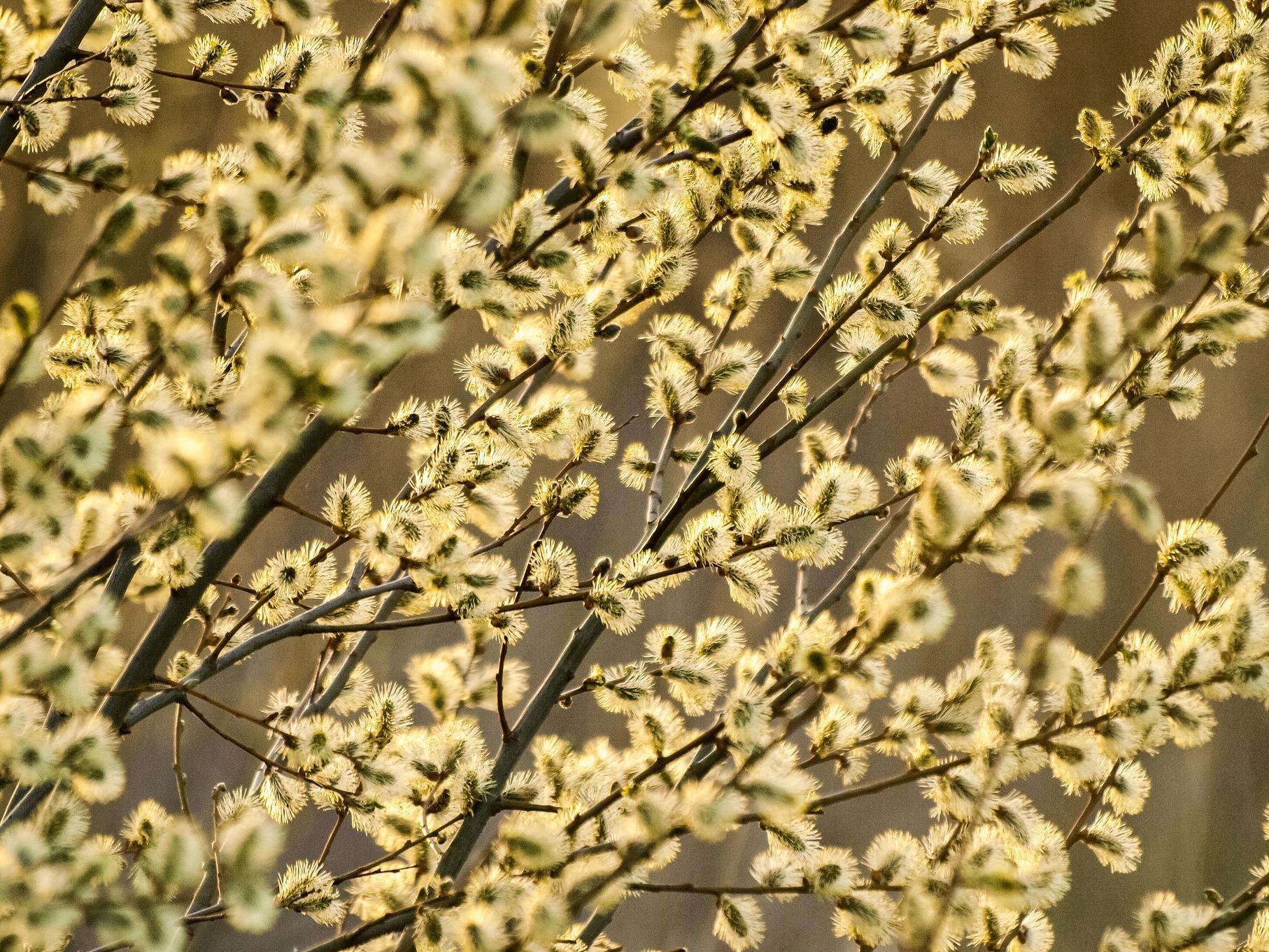 Blühende Weiden-Zweige im Abendlicht.