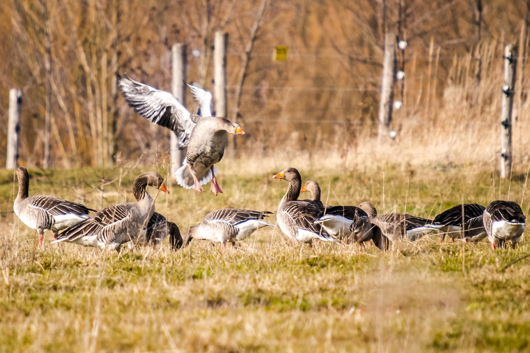 Eine Gruppe Graugänse lässt sich auf der Weide am Stichweg nieder.