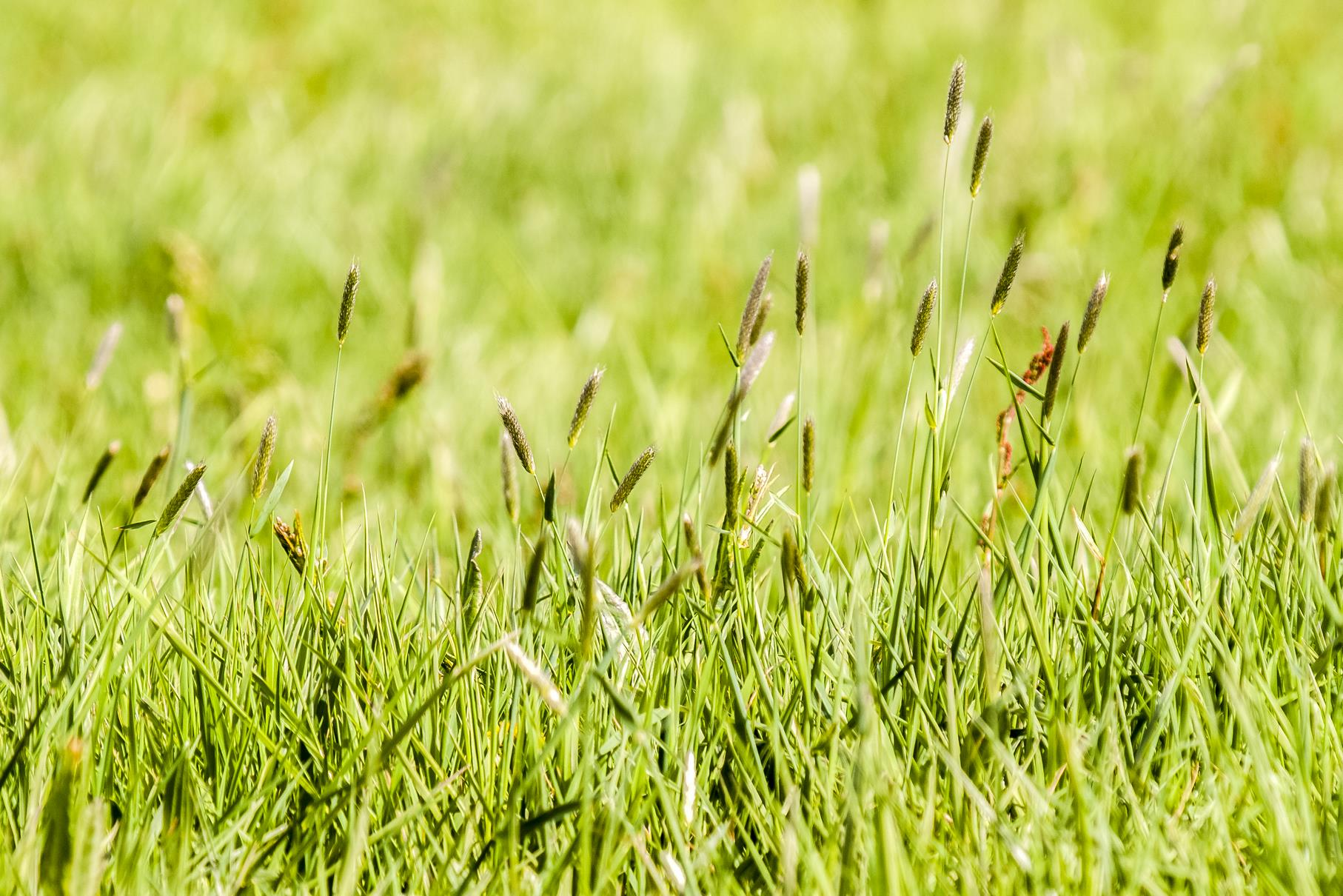 Auch viele Gräser blühen an den Wegesrändern.