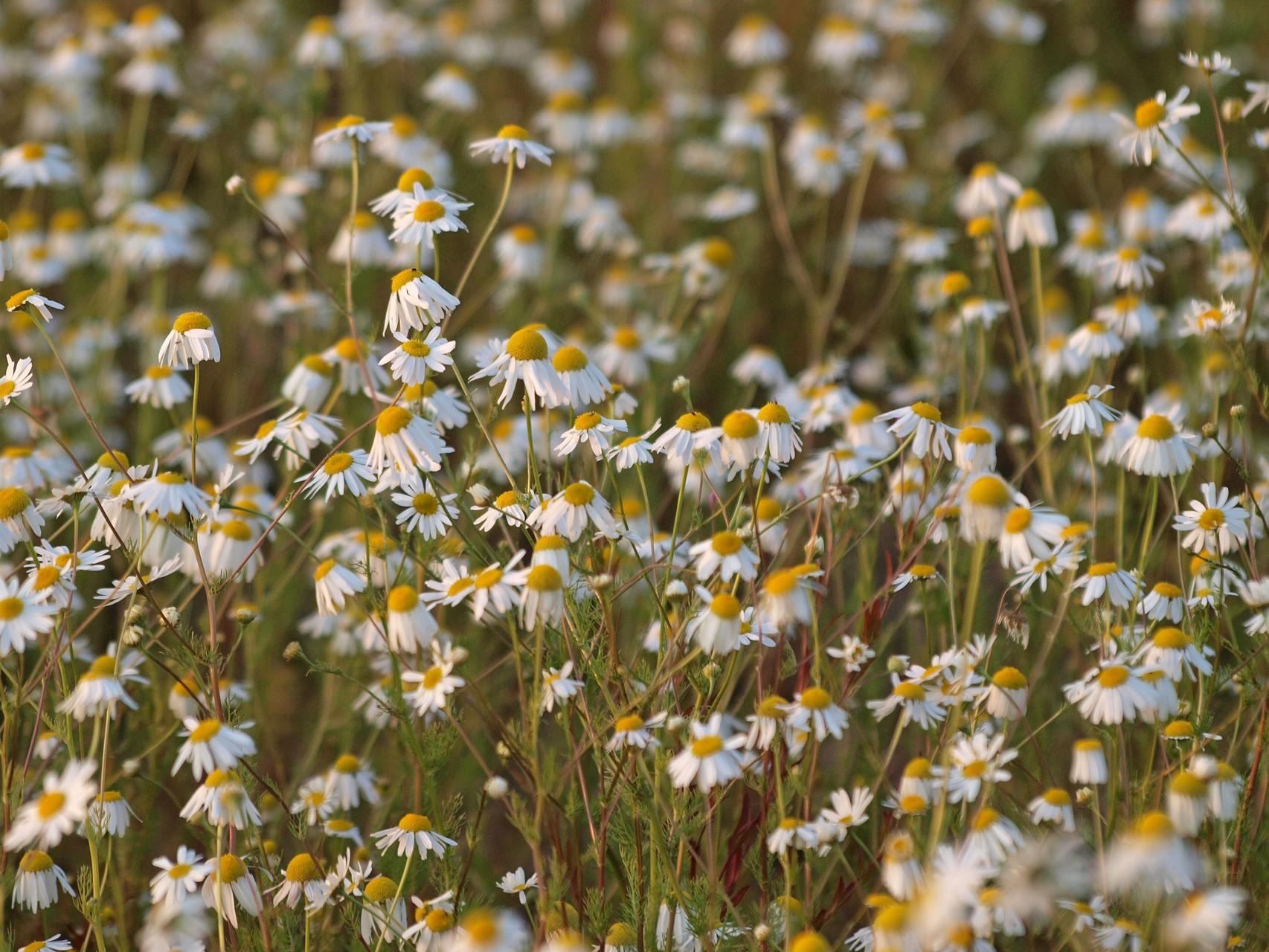 Kamillenblüten. - Foto: Kathy Büscher