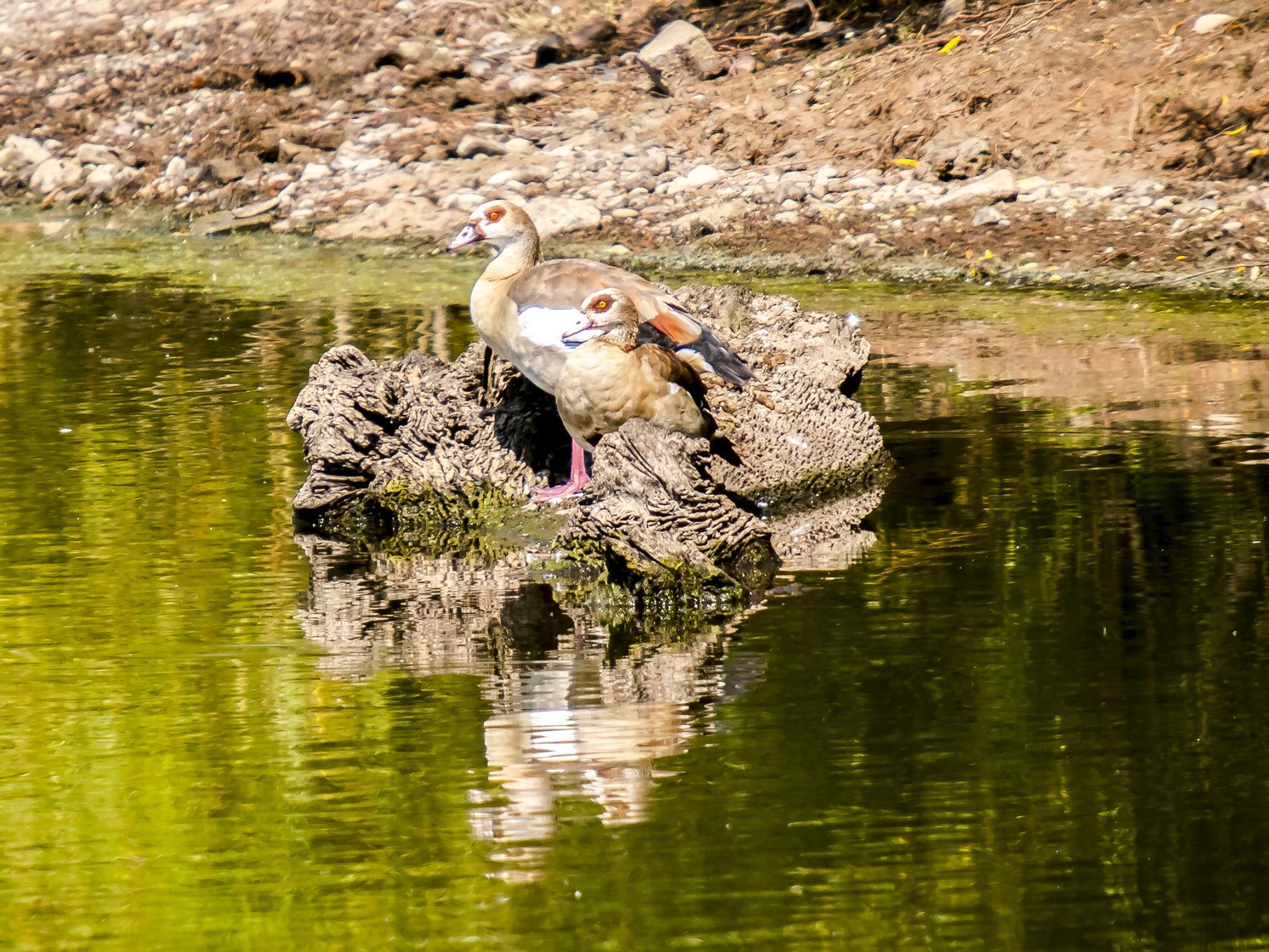 Die beiden Nilgänse haben im Wasser ein trockenes Plätzchen gefunden.