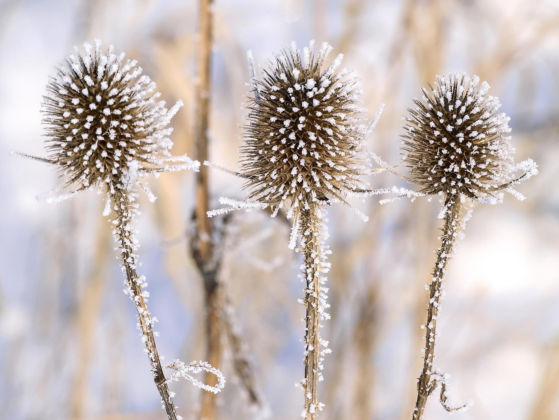 Viele Pflanzen, hier wilde Karde, sind im Januar mit einer weißen Schnee- oder Eisschicht überzogen.