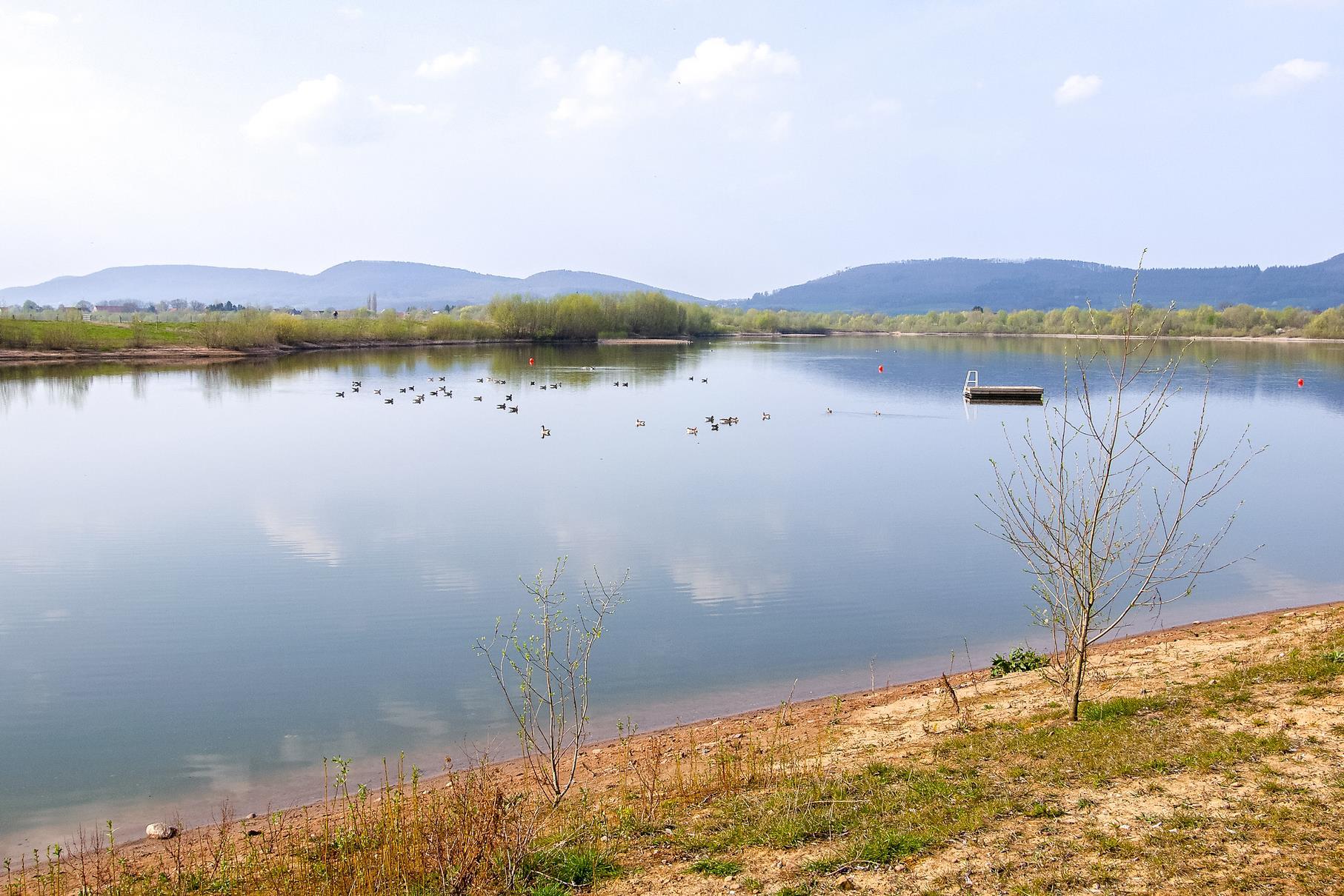 Auf dem mittleren Teich schwimmen viele Graugänse.