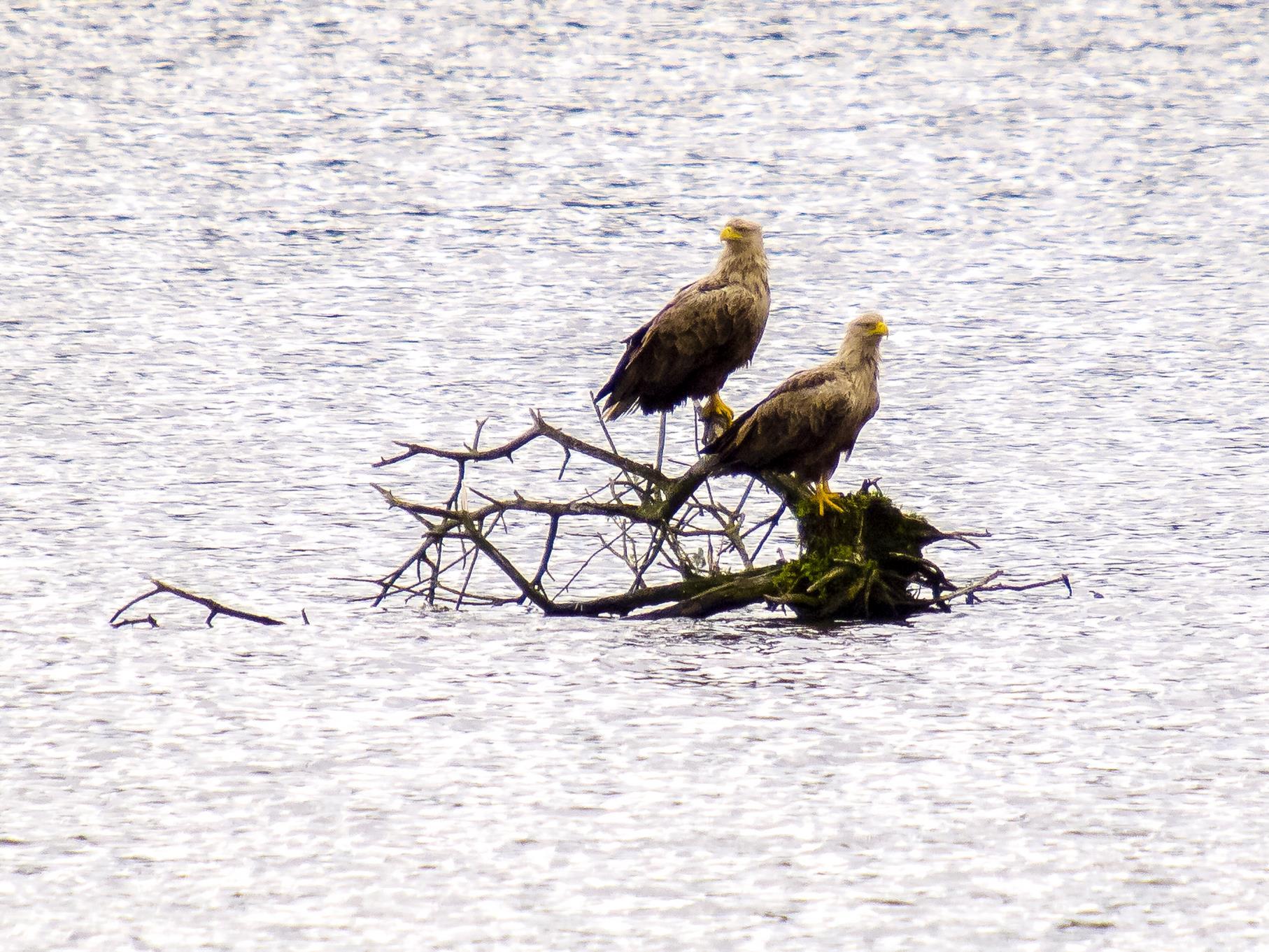 Das Seeadler-Paar kann täglich in der Auenlandschaft beobachtet werden.