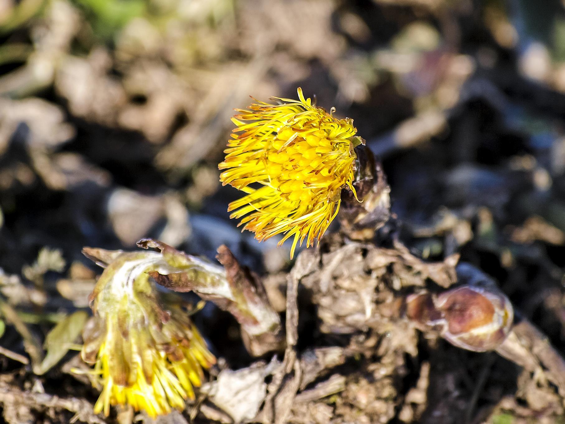 Die ersten Huflattich-Pflanzen sprießen aus dem Boden...