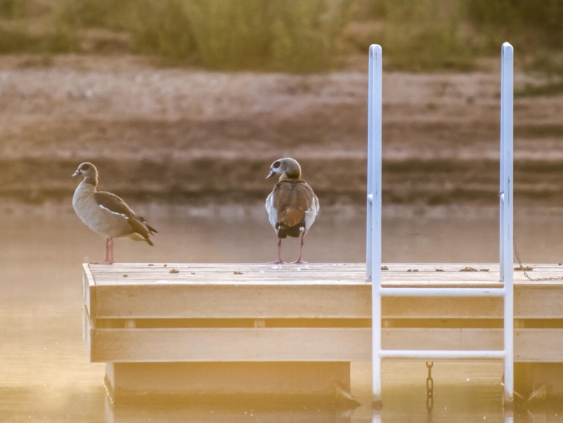 Zwei Nilgänse sitzen morgens auf dem Badepodest des Freizeitvereins.