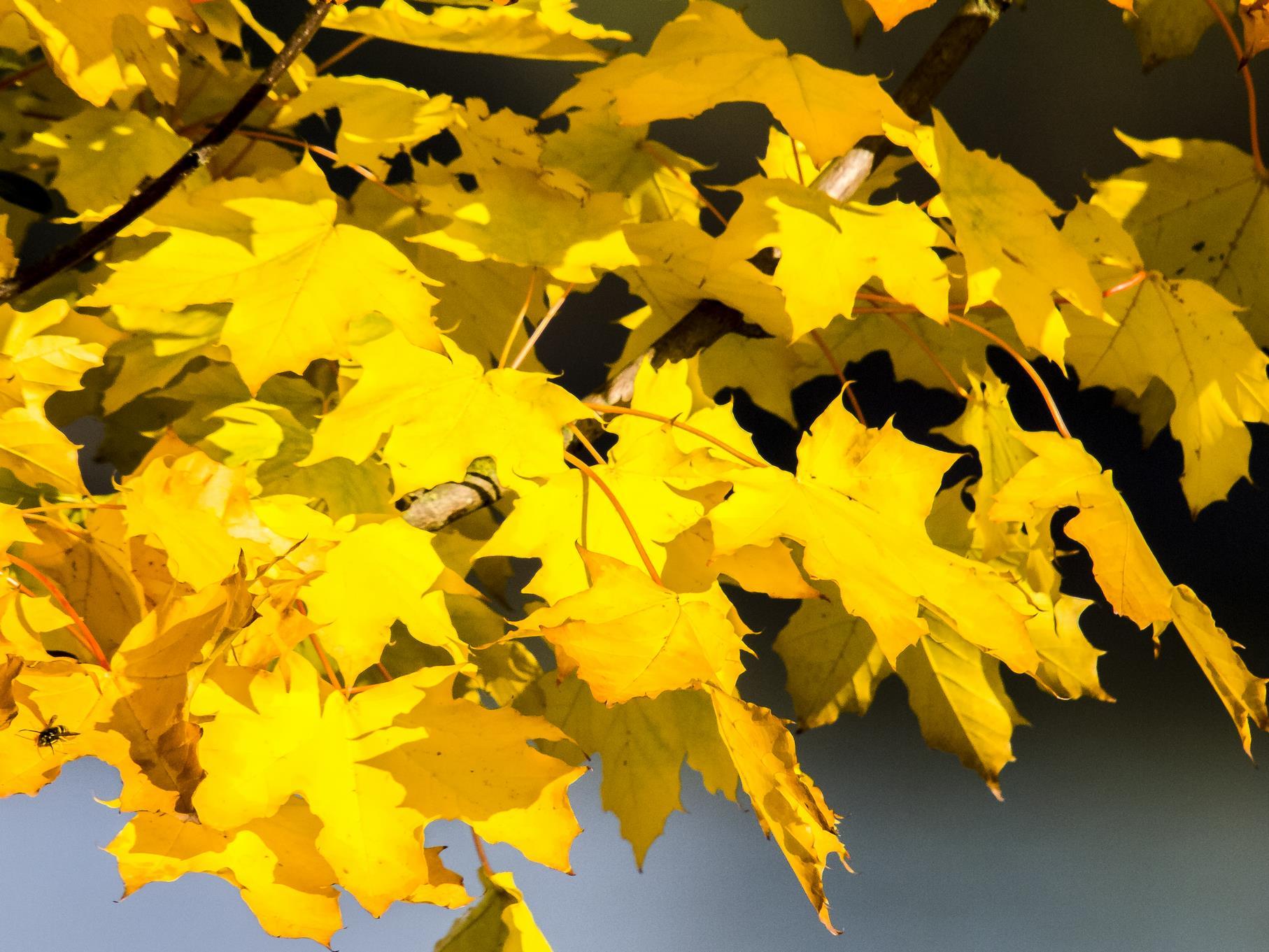 Ahornblätter in Herbstfarben.