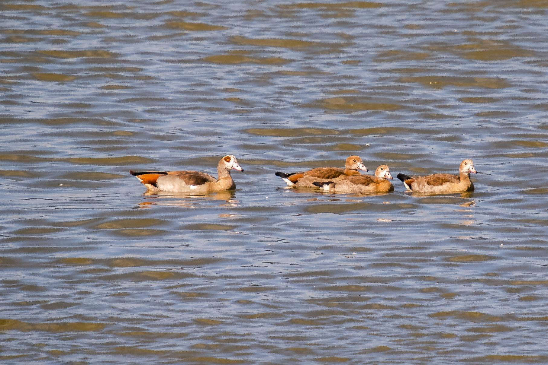 Eine Nilgans mit Nachwuchs schwimmt auf dem Wasser.