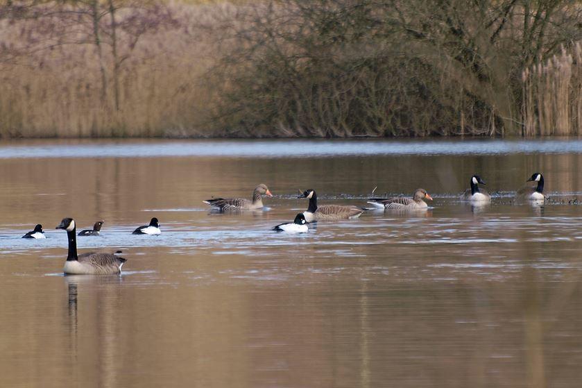 Auch andere Wasservögel, wie Gänse und Enten, fühlen sich hier wohl. - Foto: Kathy Büscher