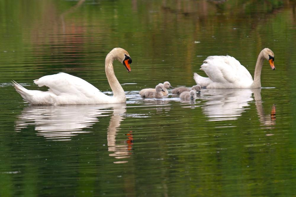 Eine Schwanenfamilie auf dem Teich. - Foto: Kathy Büscher