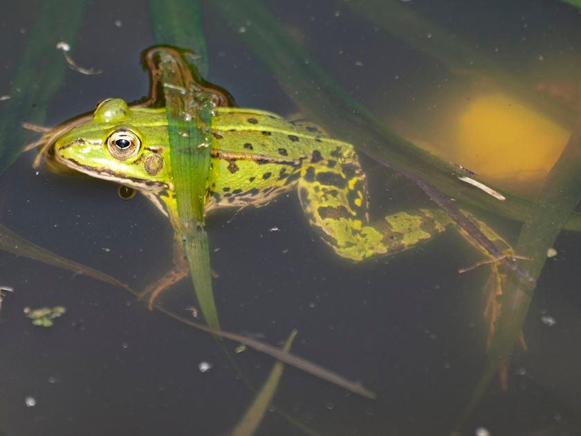 Ein Frosch im Wasser. - Foto: Kathy Büscher