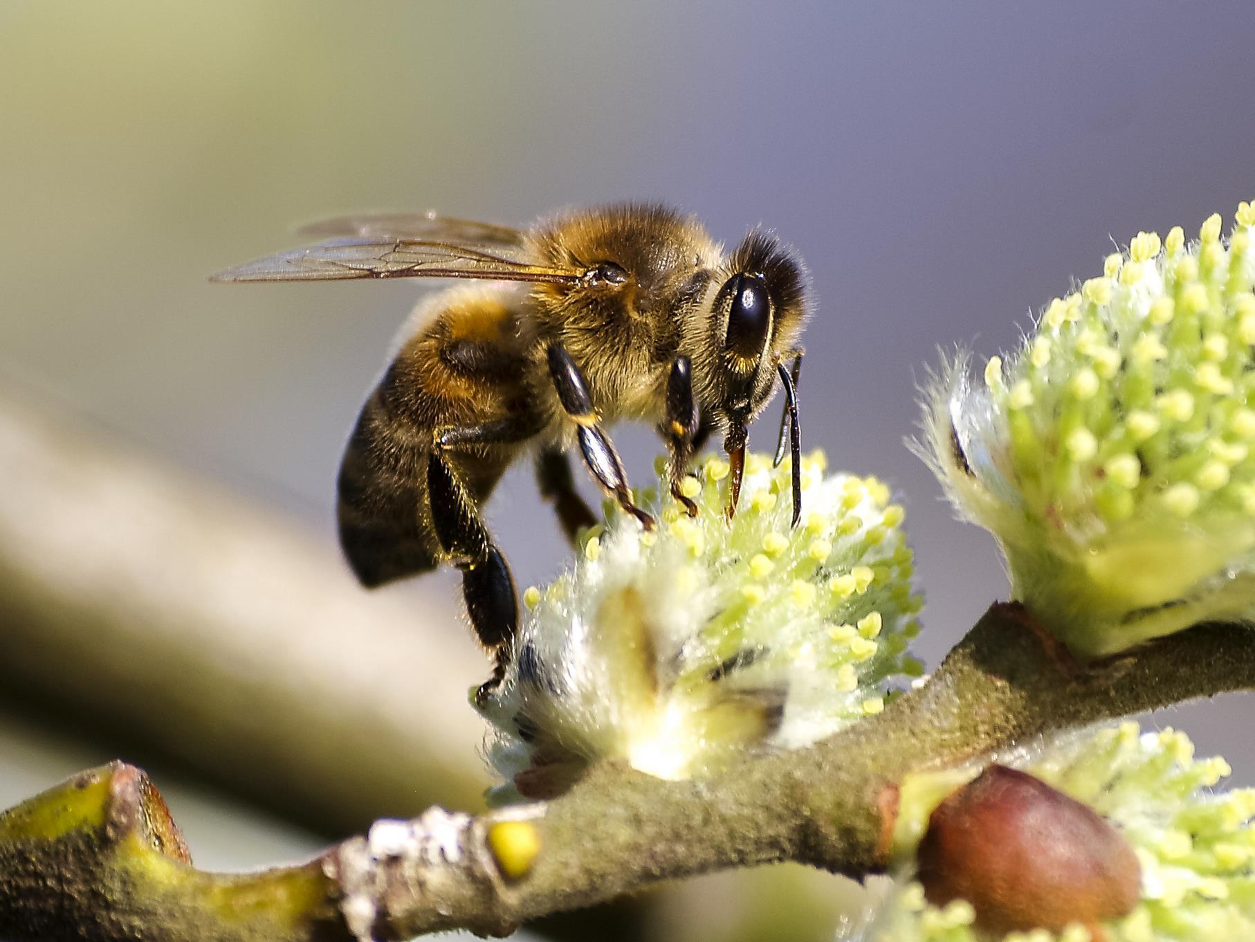 Eine Honigbiene sitzt auf einer blühenden Weide.