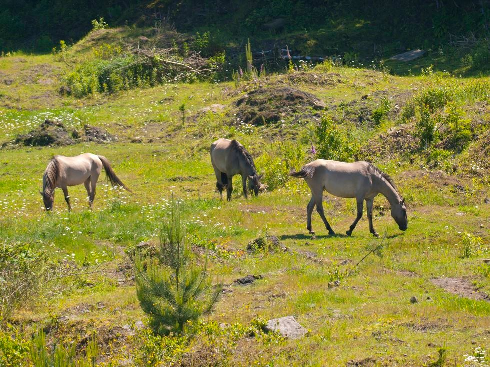 Die Sorraia-Pferde halten die Wiese kurz. - Foto: Kathy Büscher
