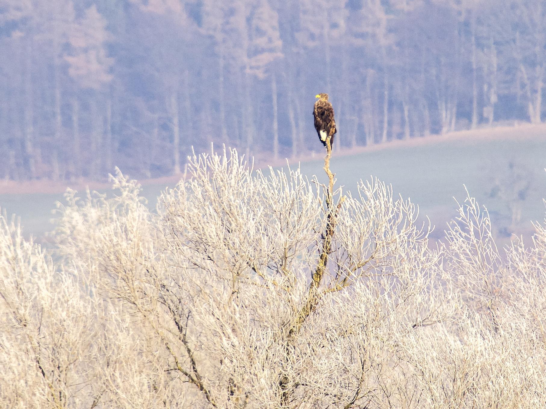 Einer der Seeadler sitzt auf einer Kopfweide.