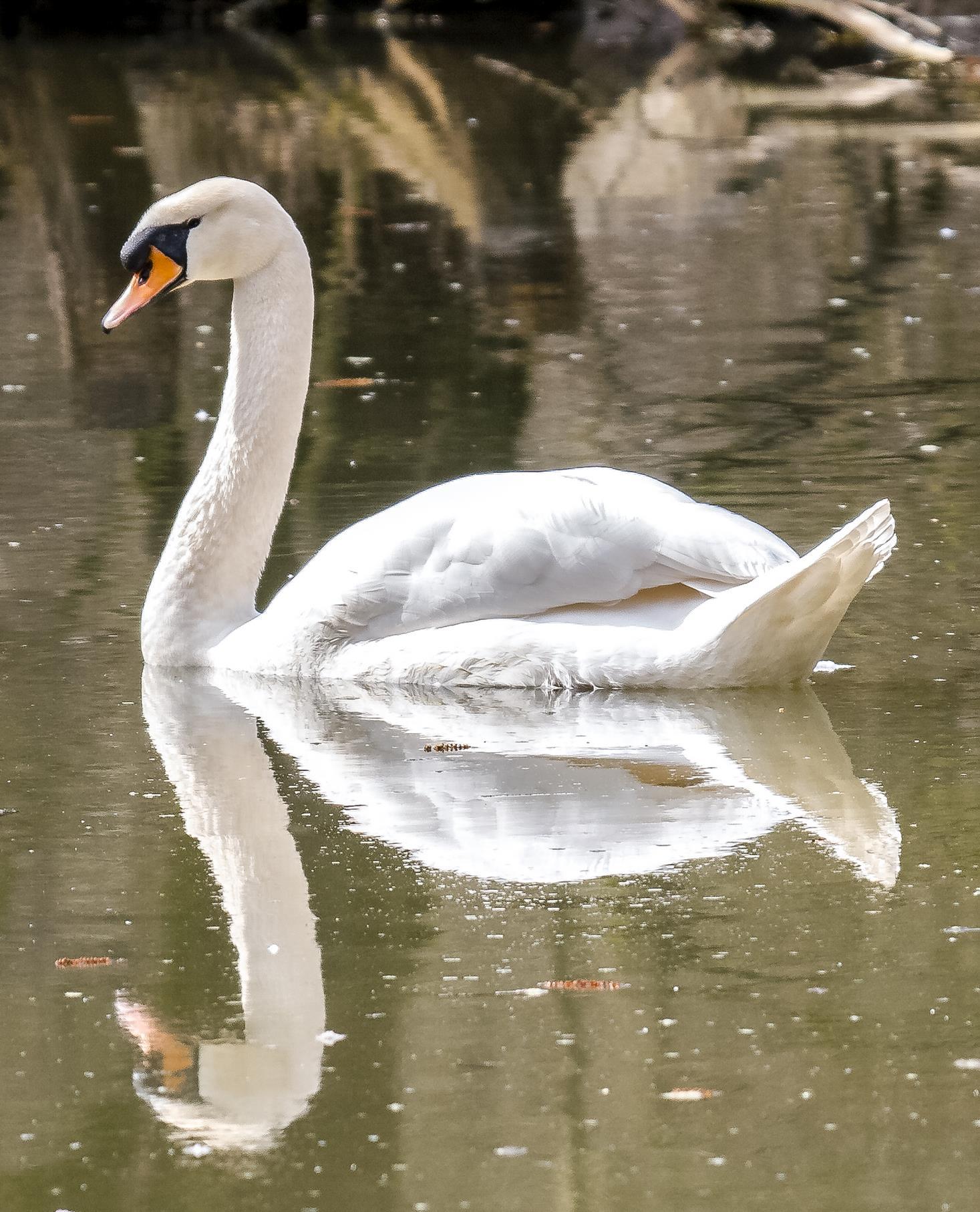 Eine Höckerschwan-Spiegelung.