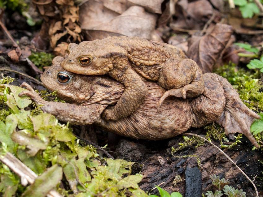 Ein Erdkröten Doppeldecker, unten das Weibchen, oben das Männchen. - Foto: Kathy Büscher