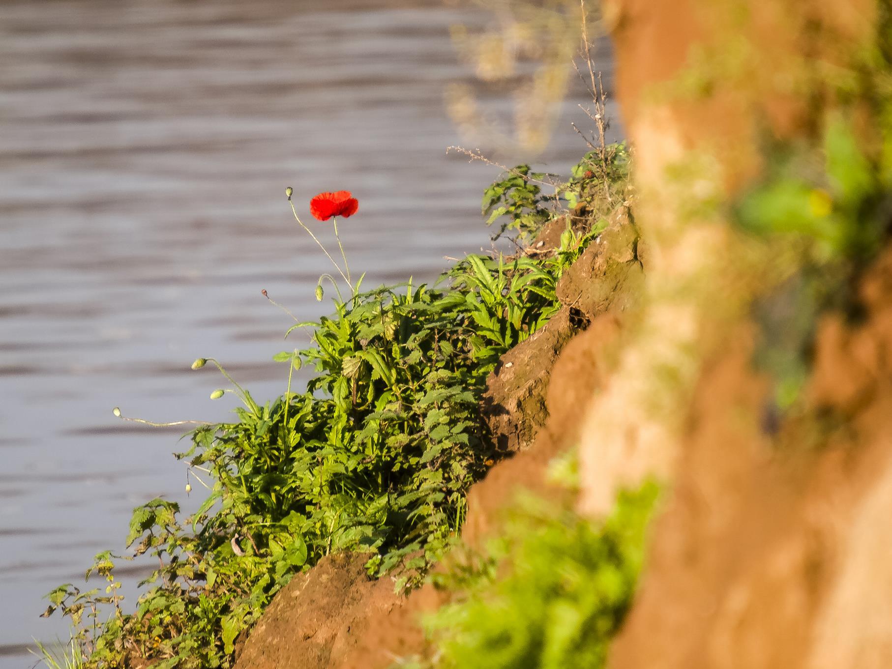 Eine Mohnblume wächst am Ufer.