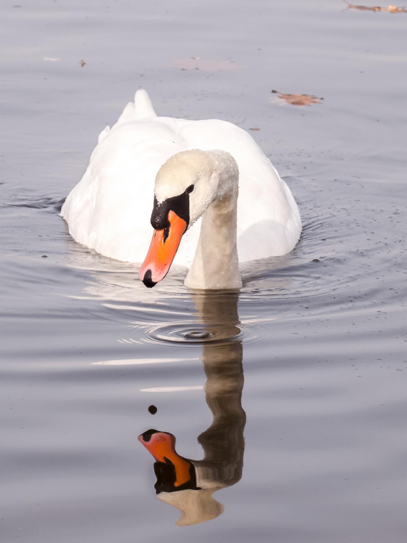 Ein Höckerschwan im Wasser.