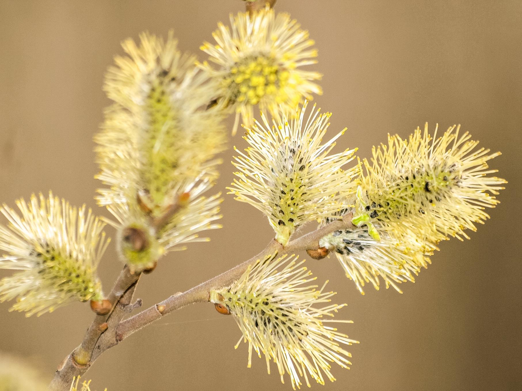 Blühende Weidenkätzchen.