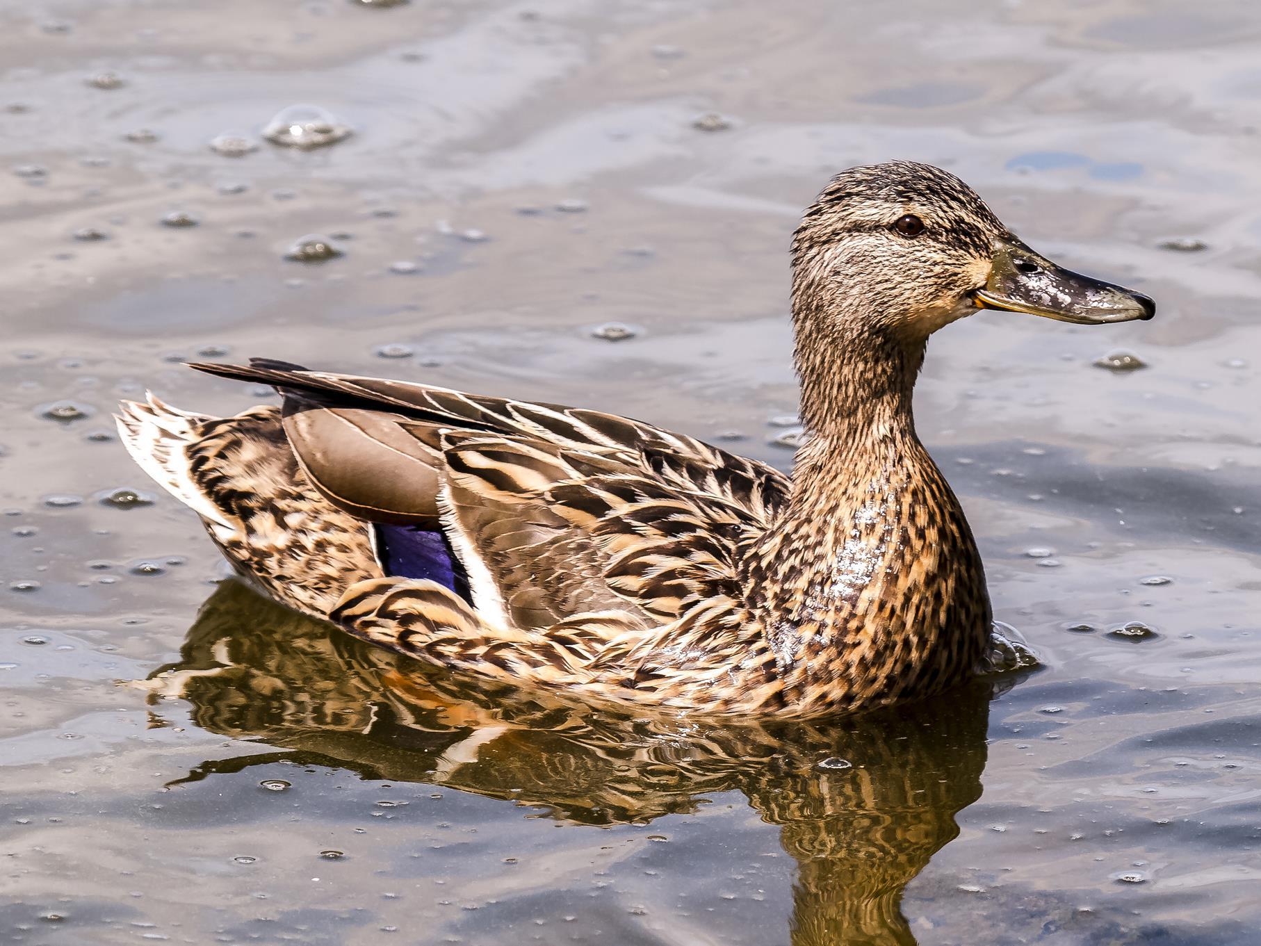Ein Stockenten-Weibchen im Wasser.