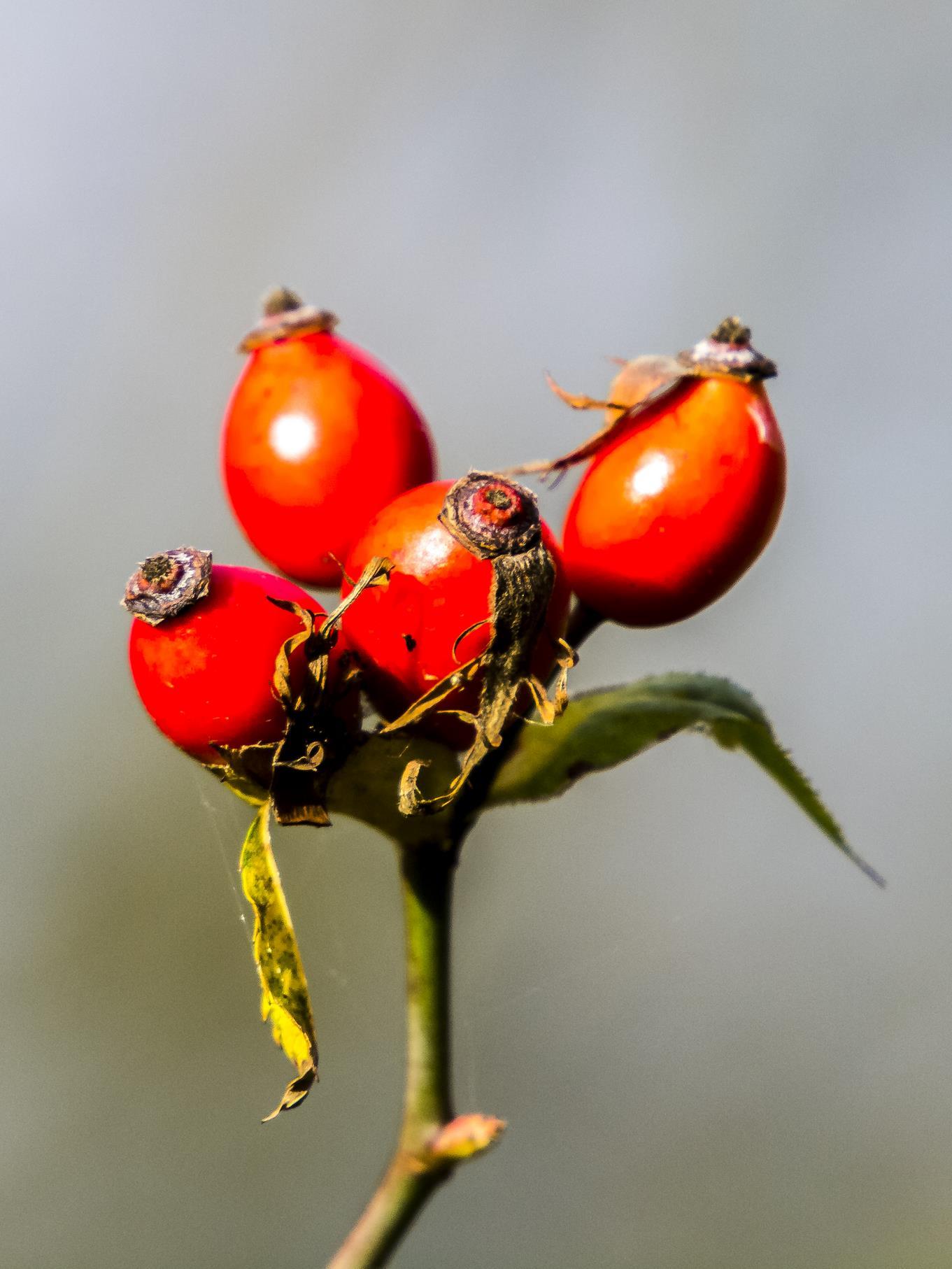 Hagebutten-Früchte in der Auenlandschaft.