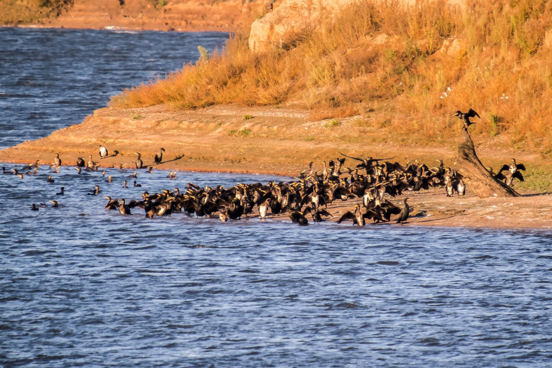 Am Ufer der Vogelinsel haben sich viele Kormorane gesammelt.