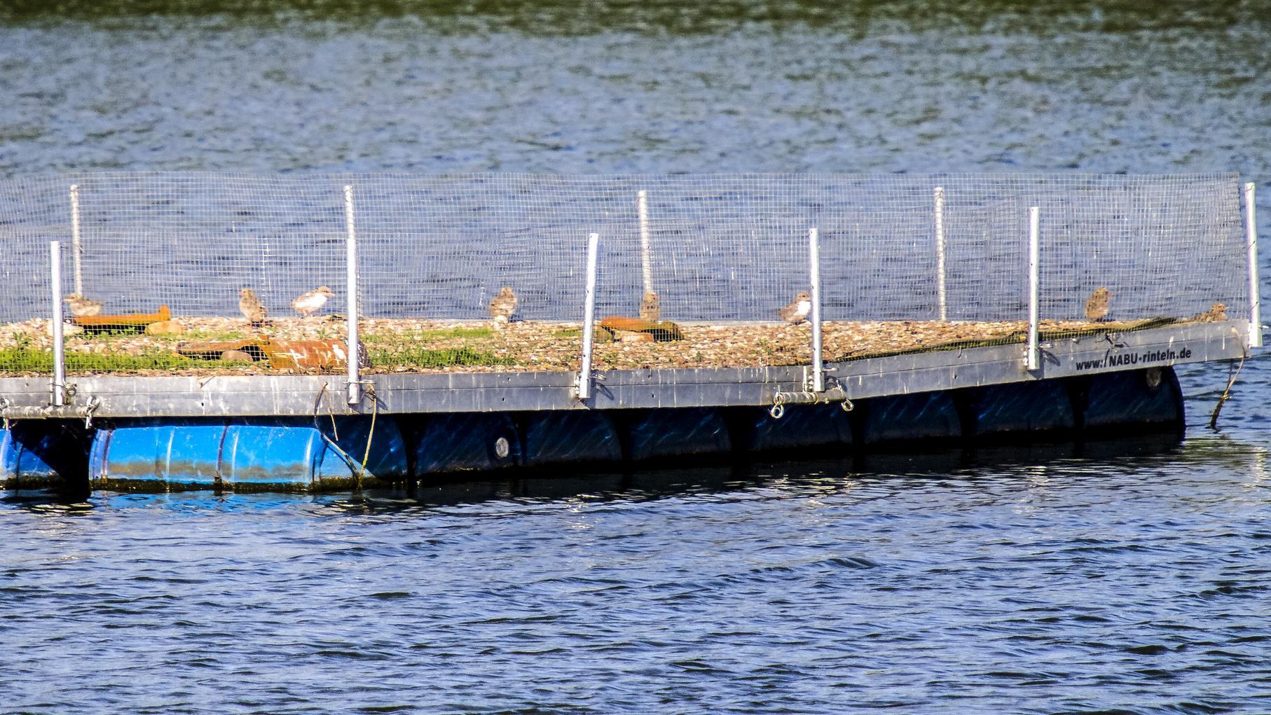 Auf den Flussseeschwalbenflößen sind die Küken bereits gut zu erkennen.