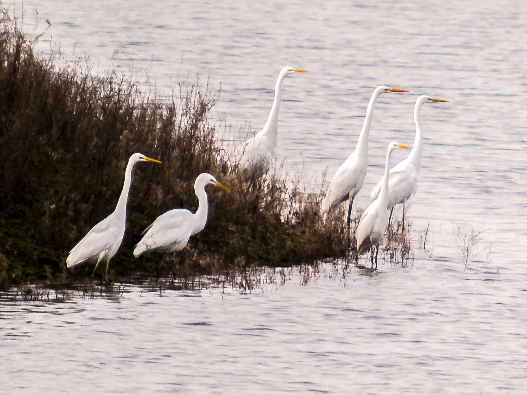 Eine Gruppe Silberreiher im Uferbereich des westlichen Teiches.