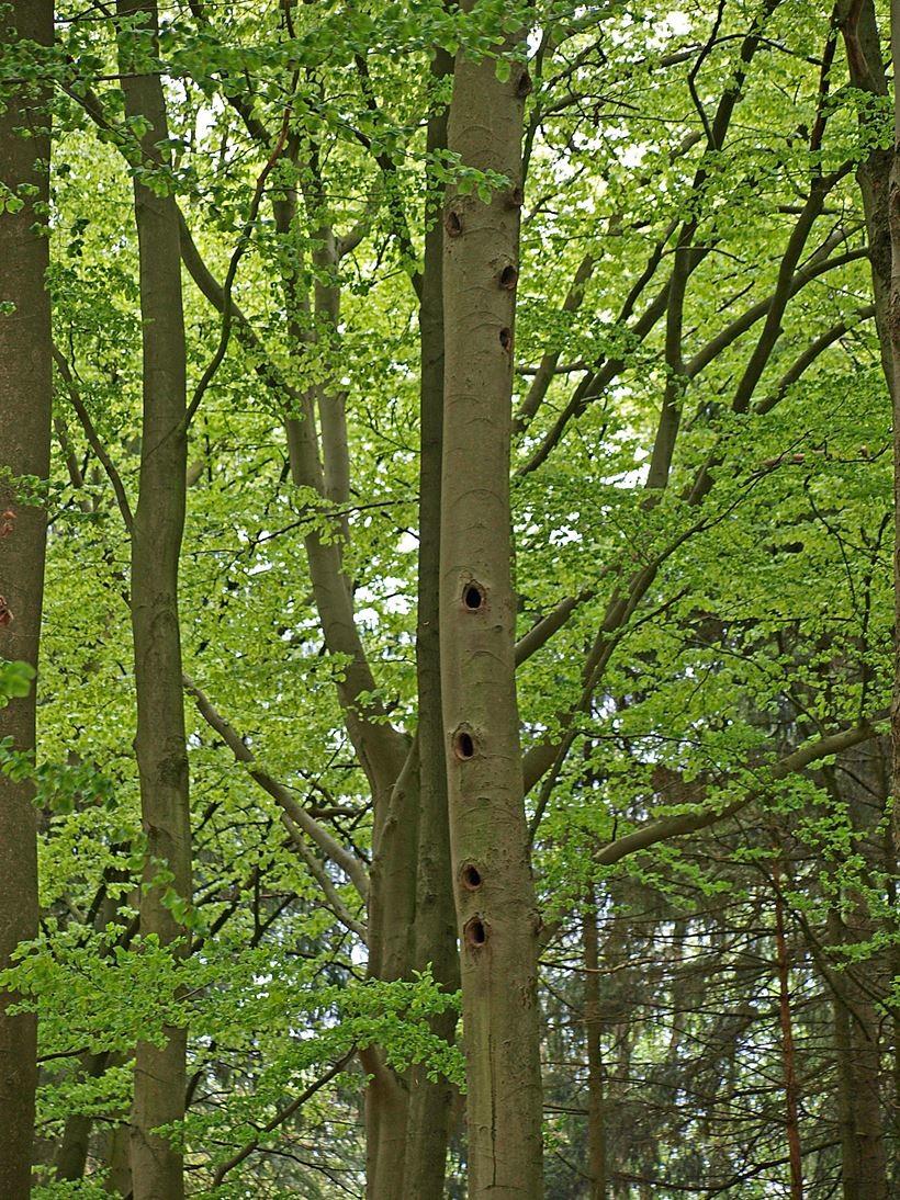 """Der """"Flöten-Baum"""" im Waldstück am Seminarhaus, wo verschiedene Vogelarten brüten. - Foto: Kathy Büscher"""