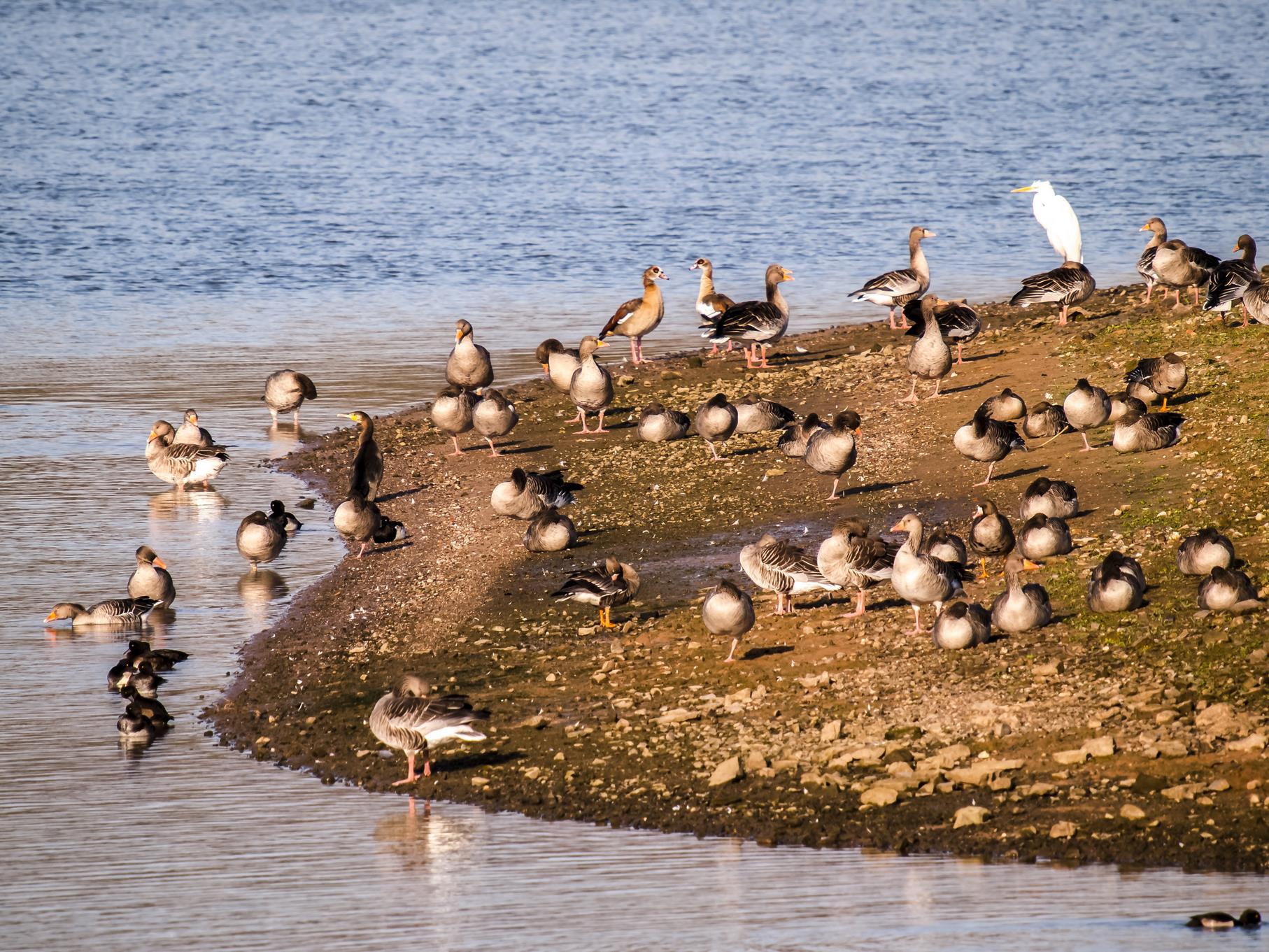 Hier sitzen Kormoran und Silberreiher, Reiherenten, Grau- und Blässgänse zusammen am Ufer.