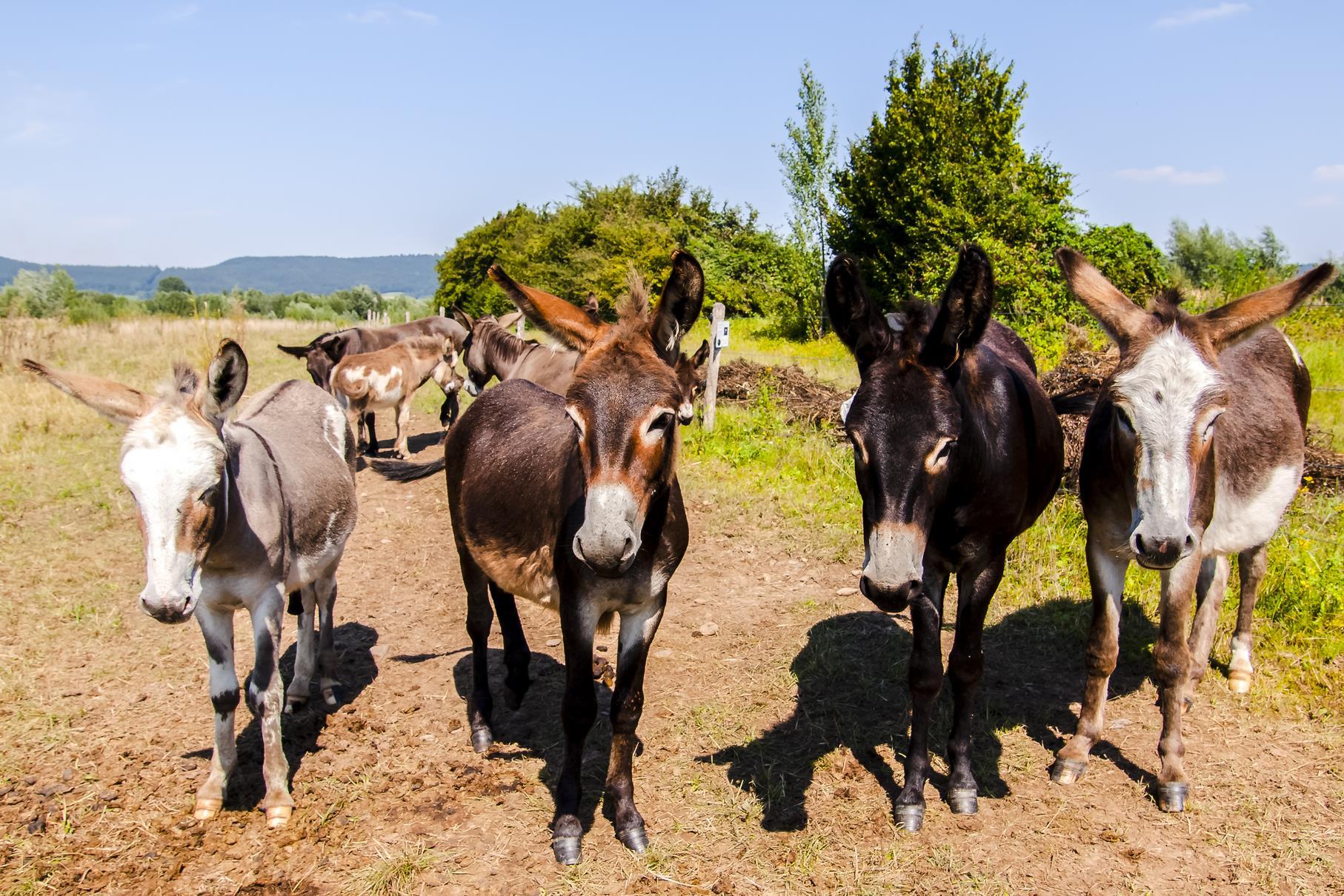 Eine neugierige Gruppe Esel weidet auf der Weide am Rundweg.