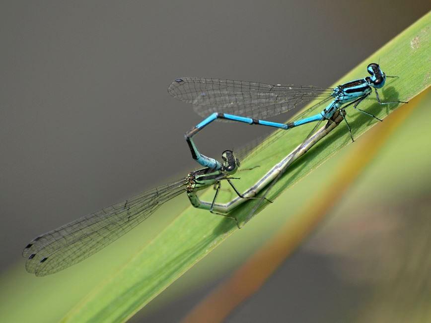 Ein Libellen-Paar am Teich. - Foto: Kathy Büscher