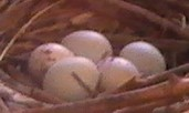 Huevos de Gavilán