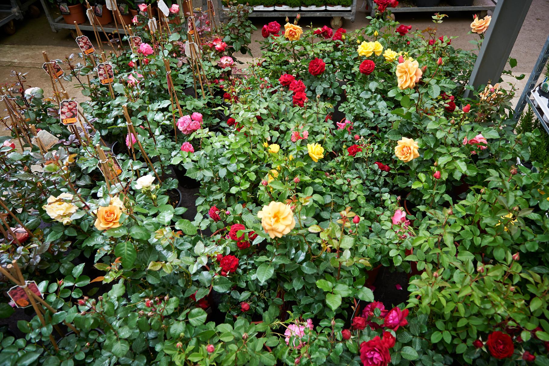 Sommerzeit - Rosenzeit