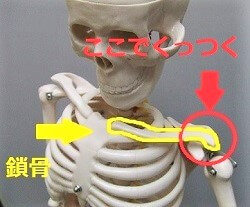 骨格模型で肩甲骨と鎖骨のつなぎめを示した画像