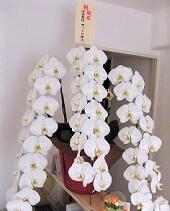 開業祝いに頂いた豪華な蘭の花の画像