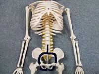 骨盤模型の画像