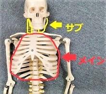 骨格模型で胸郭と首の筋肉を示した画像