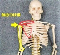 骨格模型で腕のつけねを示した画像