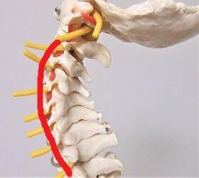 骨格模型で正常な首をしめした画像